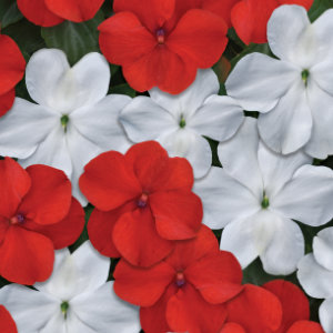 Impatiens Beacon Red/White (Reg. 32.92)
